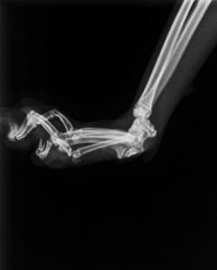 Cat carpal ligament disruption